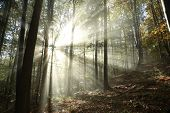 stock photo of alder-tree  - Sunbeams enter the misty autumn forest at dawn - JPG