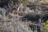 image of coyote  - small wild coyote in the New Mexico dessert near Chaco Canyon - JPG