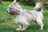 pic of windy weather  - Little gray dog on a green grass - JPG
