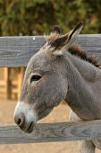 picture of jack-ass  - Donkey portrait by the wooden fence - JPG