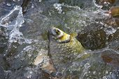 image of fresh water fish  - many funny fish in water fresh pool - JPG