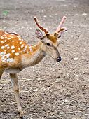 picture of roebuck  - Sika deer on a background of brown earth - JPG