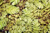 image of arum  - Pistia is a genus of aquatic plant in the arum family with water drop - JPG