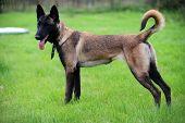 picture of belgian shepherd dogs  - Malinois Dog 6 months old Belgian sheepdog - JPG