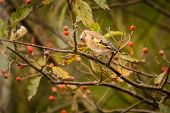 stock photo of goldfinches  - The Goldfinch is a regular visitor to gardens and woodland in the UK - JPG