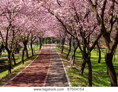 Walking under pink flowers