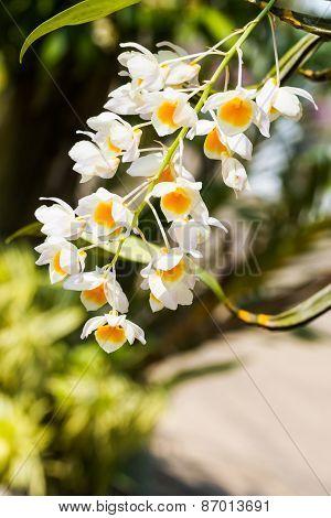 Dendrobium Farmeri Paxton, Dendrobium Palpebrae Lindl,orchid Flower.