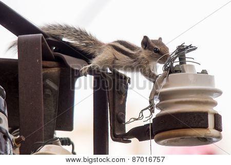 Squirrel Sniffs On The Energy Wires