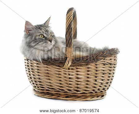 Maine Coon Cat And Basket