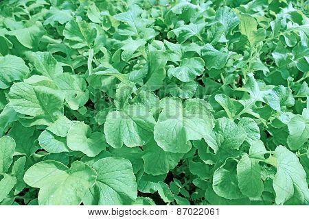 Backgrounds Of Juicy Foliage Radish