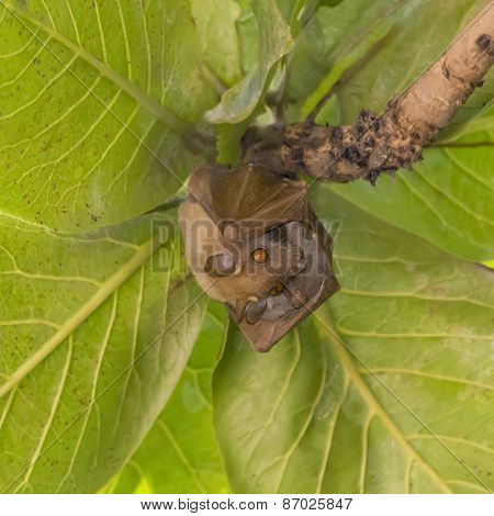 Bat (Pteropus conspicillatus) in a tropical tree (Terminalia catappa)