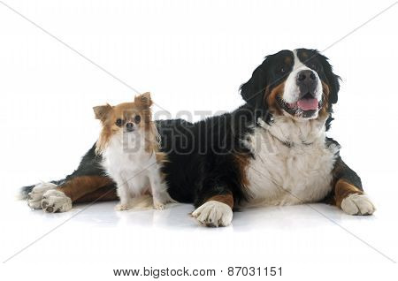 Chihuahua And Bernese Mountain Dog