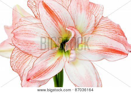 Hippeastrum Double Record