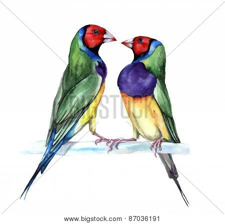 couple of Gould finch, watercolor painting. vector illustration of birds
