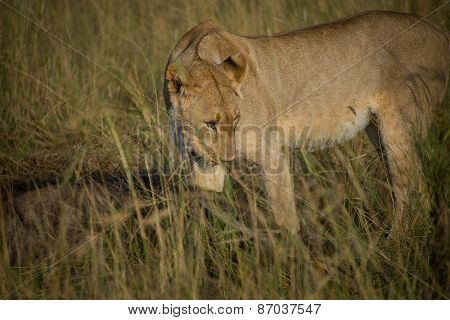 Lioness Eating A Wildebeest