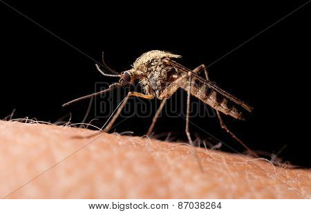 Bloodsucker Mosquito On Human Skin, Low Point Of View