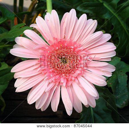 Pink Gerbera Flower In The Garden