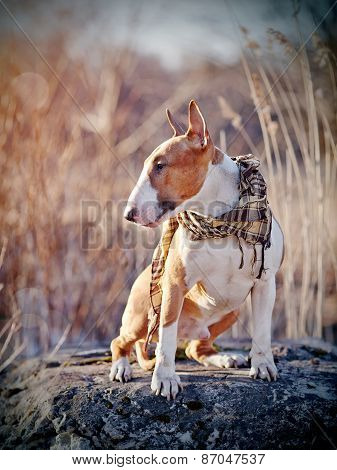 The Dog Of Breed A Bull Terrier