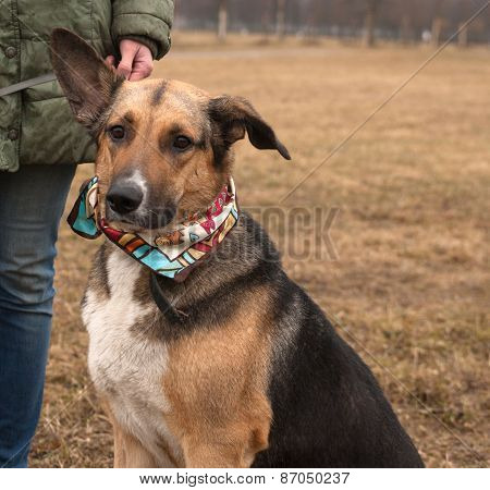 Yellow And Black Dog In Colorful Bandanna Standing On Autumn Grass