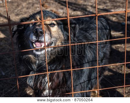 Black And Red Shaggy Dog Looks Out Of Cage