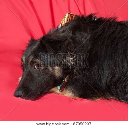 Black Dog In Colorful Bandanna Lying On Red