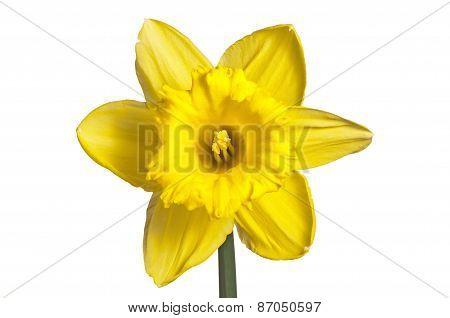 single yellow daffodil on white