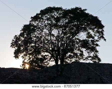 Symbolic big old tree inside Kalemegdan fortress wall at sunset, Belgrade