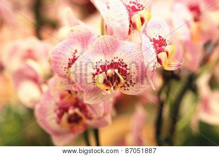 Phalaenopsis,moth orchid flowers