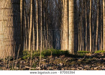 Trees In Line Inside Forest