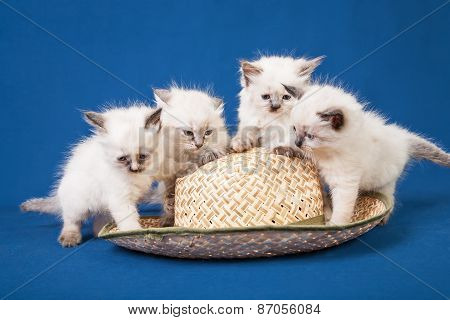 Four Little Neva Masquerade Kittens On Blue Background