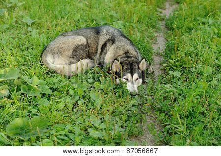 Husky Dog Lying In Green Grass Near Footpath
