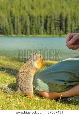 Ground squirrel at the Lake Two Jacks in Banff, Canada.