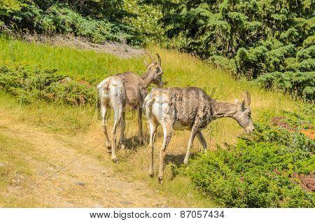 Rocky Mountain Bighorn Sheep, Jasper National Park, Alberta Canada