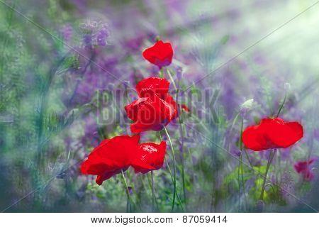 Poppy flowers lit by sun rays