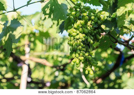 Young Vineyard