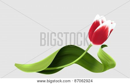 Red tulip isolated over grey background