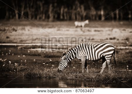 Zebra At Watering Place