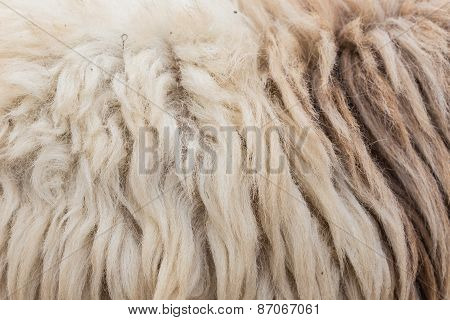 Wool Sheep Closeup