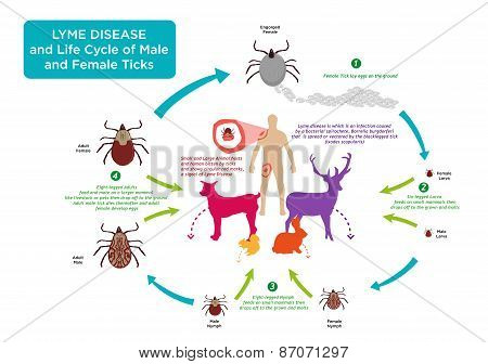 Life Cycle of Tick bug and Lyme Disease concept