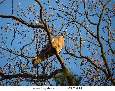 Mourning Doves Perched In A Tree