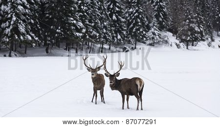Two elk in a winter scene