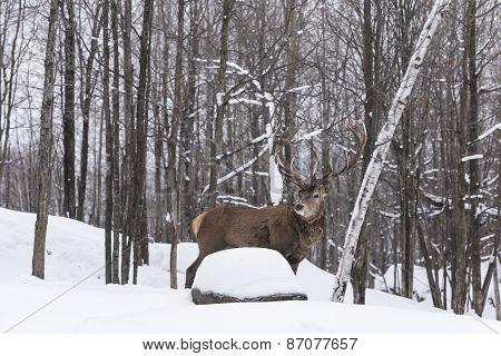 An Elk in a winter scene