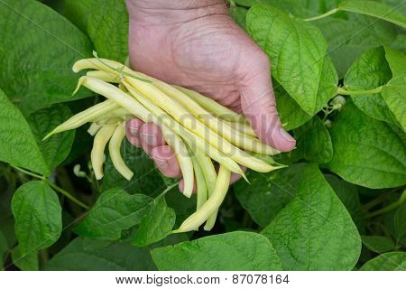 Man holding a handful of freshly picked yellow beans.