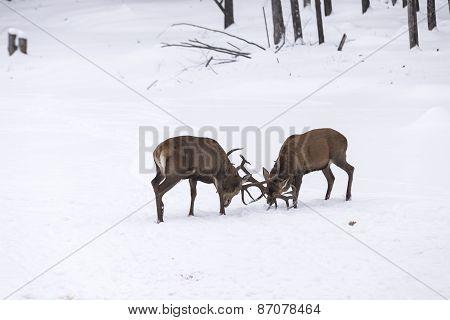 Two large elk fighting in a winter scene