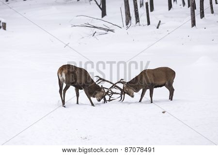 A pair of large elk in a winter scene
