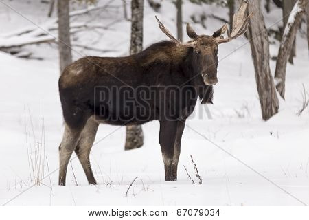 A lone bull moose in a winter scene