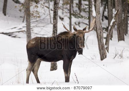 Bull Moose in a winter scene