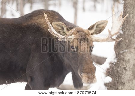 Bull Moose in a winter scene