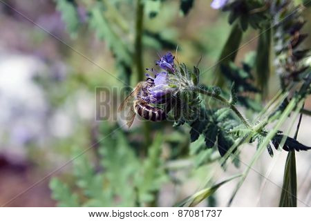 Bee Gathering Nectar While Pollinating Wildflowers In Spring