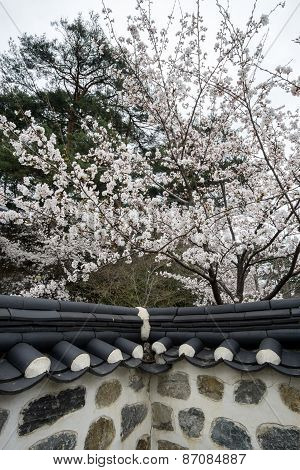 Cherry Blossom In Traditional Korean House